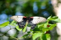 Asian Swallowtail (Papilio Iowi)