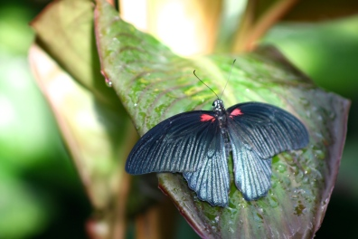 Great Mormon (Papilio memnon)