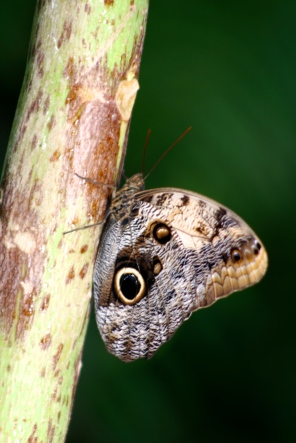 Owl (Caligo memnon)