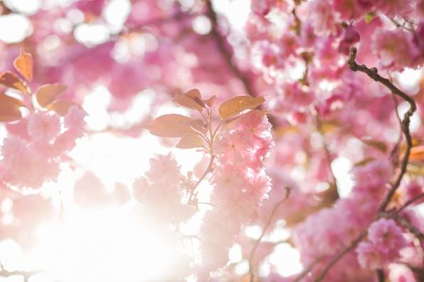 MTP_cherrytreeblossom_1